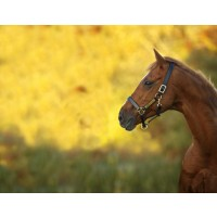 Horseware Amigo Padded Leather Headcollar Black or Brown